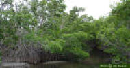 Image - Red Mangrove trees