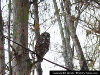 Barred Owl roosting in a Cypress tree.