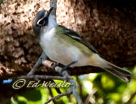 Blue headed Vireo hunting insects.