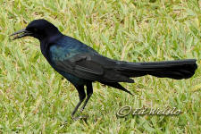 The Boat-tailed Grackle holding a Sable palm berry in its beak.