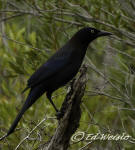 The Common Grackle appears black from a distance.
