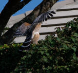 Red- shouldered Hawk, a back view with its wings spread as it lands.