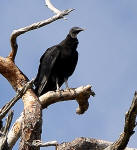 Black Vulture perched on a dead tree.
