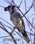 A Blue Jay (Cyanocitta cristata) perches with acorns it its mouth.