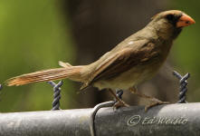 A female Cardinal perched on a fence.