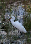 Great egret trying to swallow a large frog.