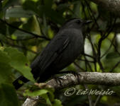 Gray catbird perched in a thicket.