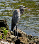 A Great Blue Heron looks for fish at the rivers edge