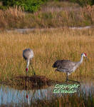 A pair of Sandhill cranes tending their nest
