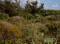 Coastal scrub habitat located on Florida's east coast.