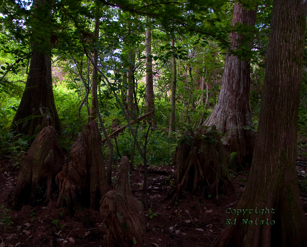 Cypress understory plants and cypress knees