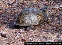 Florida Box Turtle - Terrapene carolina bauri