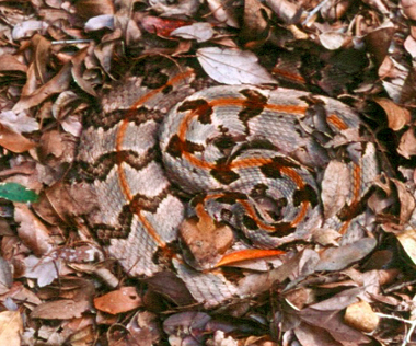 A Timber rattler, also called the cane-break rattler.