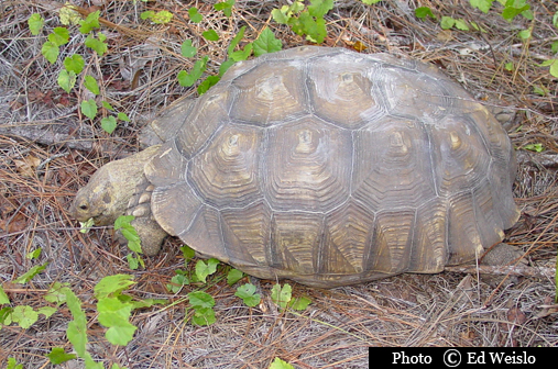 "A large and old Gopher tortoise is a well known ""keystone species"""