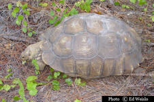 Large Gopher tortoise feeding.