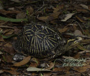 A Florida Box turtle comes out to say hello.