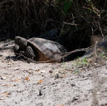 A Gopher Tortise pauses at the entrance of its burrow.