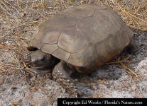 Gopher Tortoise out for a walk.