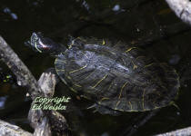 The Red-eared slider is an introduced species from the pet trade.