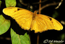 Photo - Julia Heliconian butterfly ( Dryas iulia ), dorsal view.