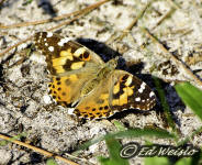 Photo - Dorsal view of the Painted lady butterfly.